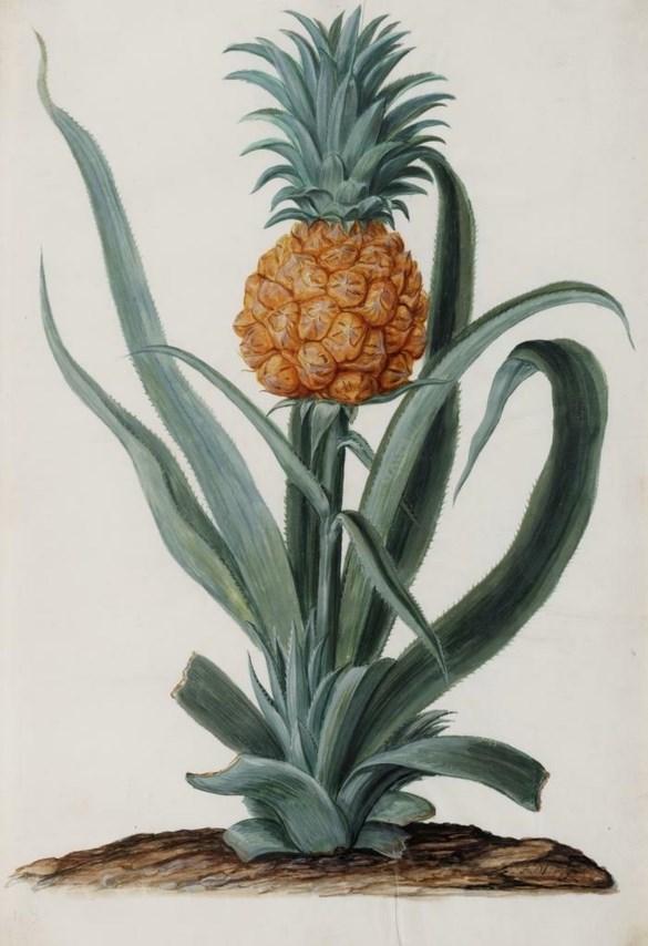 Ananas uit de Hortus van Amsterdam